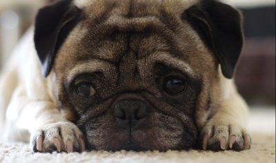 How to Bathe a Pug Dog
