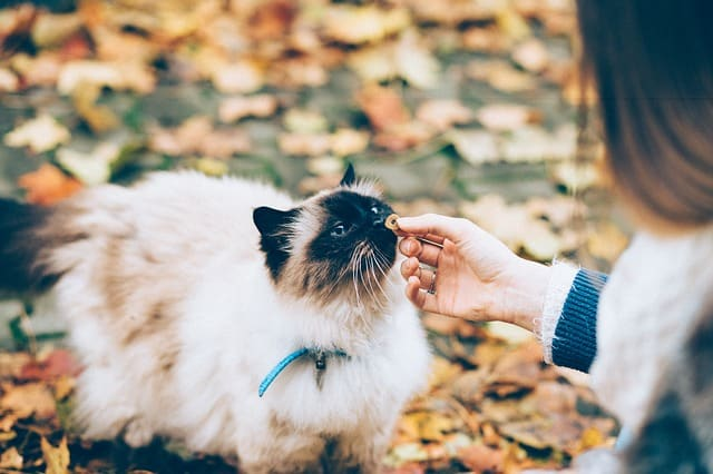 Cats can be stubborn training them to respect Pugs. So the best way to do it is give them treats each time they follow small successful instruction towards your Pug.