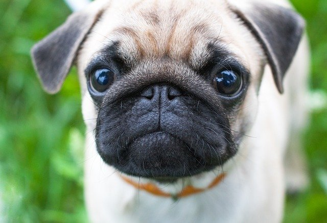 What do Pugs Look Like?
