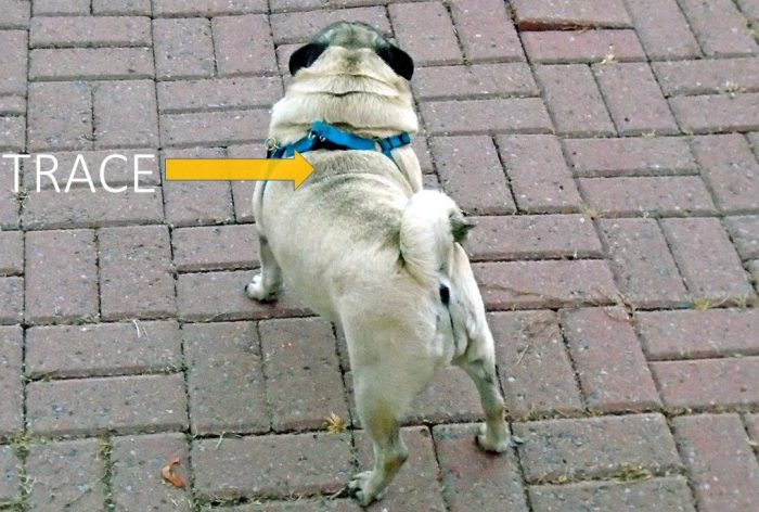 Pug Dog Colors