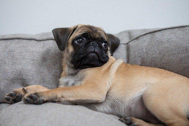 Do pugs fart a lot?