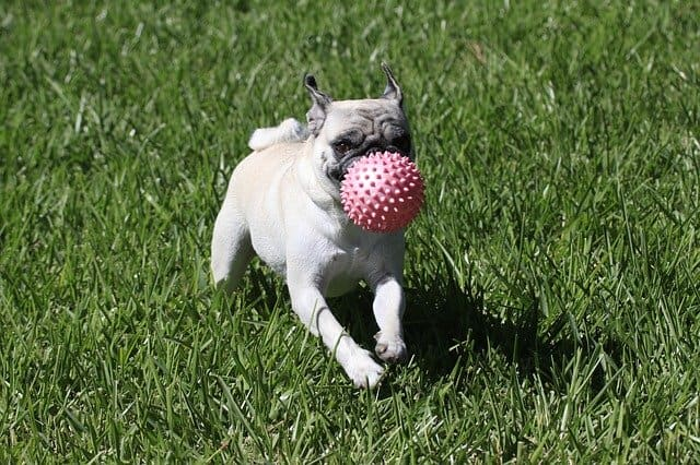 Are pug puppies hyper?