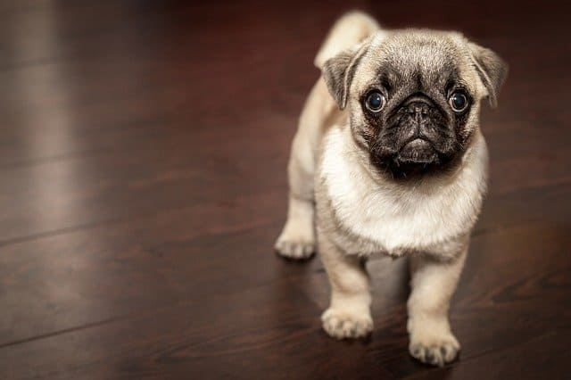When do pugs stop growing