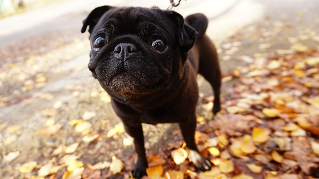 Can Pugs' Eyes Pop Out
