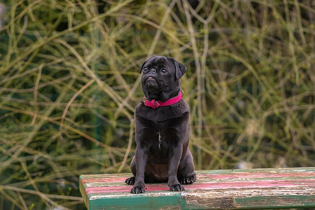 The Best collar for pugs