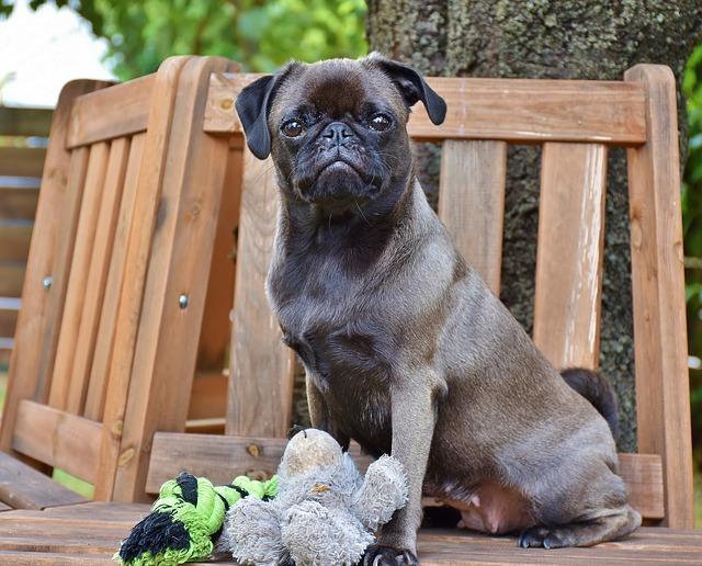 How to Discipline a Pug Puppy